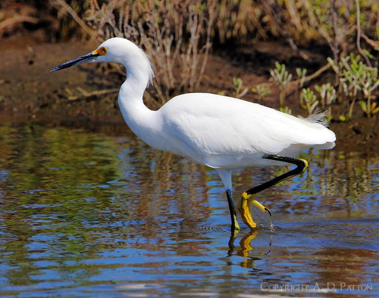 Snowy egret in fall