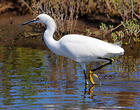 Snowy egret in fall