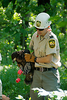 Ohio Division of Wildlife biologists remove a juvenile bald eagle from its nest for banding
