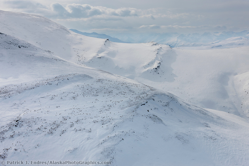 Caribou of the Porcupine herd dot the snow covered Brooks Range mountains, north of Chandalar lake, arctic Alaska.