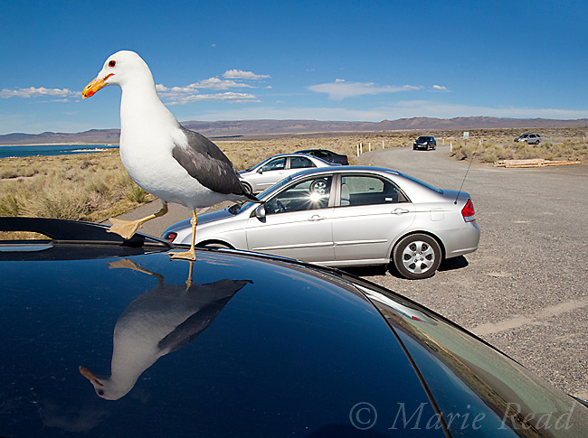 California Gull (Larus californicus) on top of a parked vehicle in South Tufa parking lot, Mono Lake, California, USA. These gulls often frequent human environments looking for food.