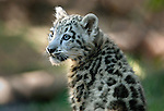 pvc080609a/8-6-09/asec.  A female snow leopard cub named Sombra born to Kachina, looks around its enclosure at the Rio Grande Zoo, photographed Thursday Aug. 6, 2009.  (Pat Vasquez-Cunningham/Journal)