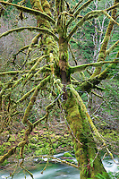 Moss covered Maple tree and Quartzville Creek. Quartzville Creek Wild and Scenic River. Oregon