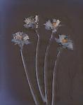 Lumen print of 4 Daffodil flowers