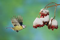Blue Tit, Parus caeruleus, adult in flight toward berries of European cranberry bush (Viburnum opulus) with snow, Oberaegeri, Switzerland, Europe