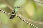 Female buff-winged starfrontlet, Coeligena lutetiae. Yanacocha Reserve, Ecuador
