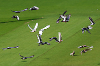 Pigeons land on the outfield during Glamorgan CCC vs Essex CCC, Specsavers County Championship Division 2 Cricket at the SSE SWALEC Stadium on 23rd May 2016