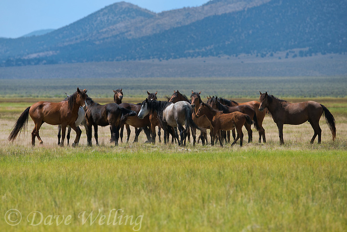 647980001 a small herd of wild horses equus ferus feed and graze on the open plains near river springs in mono county california