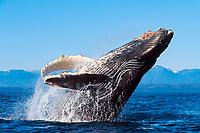 humpback whale calf, Megaptera novaeangliae, breaching, Icy Straits, southeast Alaska (N.E. Pacific Ocean)