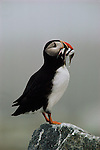 Atlantic Puffin standing on a rock with its beak full of fish.