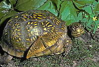 Female ornate box turtle with fritillary butterfly warming up on her shell