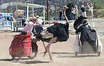 A.J. Augusto tries to get his ostrich headed back towards the finish line during the 51st Annual Virginia City International Camel Races in Virginia City, Nev. on Sept. 10, 2010..Photo by Cathleen Allison