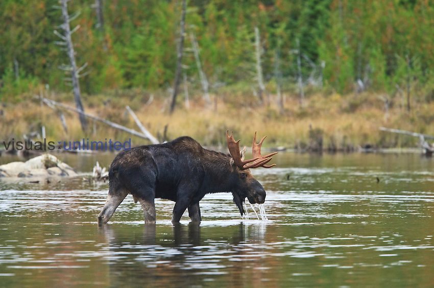 Male Moose (Alces alces) drinking water, Baxter State Park, Millinocket, Maine, USA.