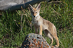 Coyote pup. Yellowstone National Park, Wyoming.