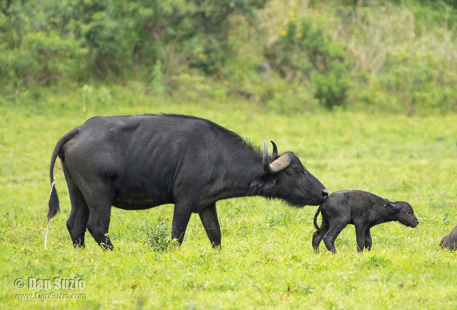 A mother Cape Buffalo, Syncerus caffer caffer, grooms her newborn calf in Arusha National Park, Tanzania. The umbilical cord can still be seen hanging from the mother.