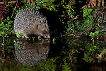 A wild European Hedgehog (Erinaceus europaeus) drink at a pool in North Wales, UK