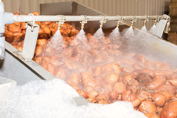 August 22, 2016. Wilson, North Carolina<br />  Sweet potatoes are washed in the packing house of Vick Family Farms. <br /> Vick Family Farms uses Greenlight provided broadband to monitor its tobacco drying barns as well as run its large sweet potato operation. If they lose the network due to recent legal suits brought by the telecom industry on the city of Wilson, who provides the fiber optic broadband, they may be unable to run the business with near the level of efficiency.<br />  Greenlight Community Broadband is a fiber optic internet service provider owned by the city of Wilson, NC. Popular with residents for its reliability and speed, the city started offering the service to towns outside of its municipal limits before a court case brought by the telecom industry took away the city's ability to expand beyond its borders. Several businesses and residents who have come to rely on the utility fear for their livelihoods if the service is discontinued.