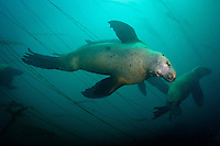 Stellers Sea Lions (Eumetpias jubatus) underwater at Race Rocks off Vancouver Island, British Columbia, Canada.