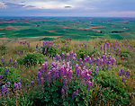 Whitman County, WA<br /> Lupine intermix with grasses on Steptoe Butte with the green hills of the Palouse Country in the distance - Steptoe Butte State Park