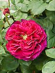 Fisherman's Friend Rose, Rosa hybrid by David Austin