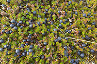 Crowberry on the tundra, Seward peninsula, western Arctic, Alaska.