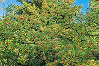Japanese Mt. Ash trees, Washington