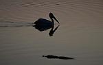 Yala National Park Sri Lanka<br /> Spot Billed Pelican and Crocodile