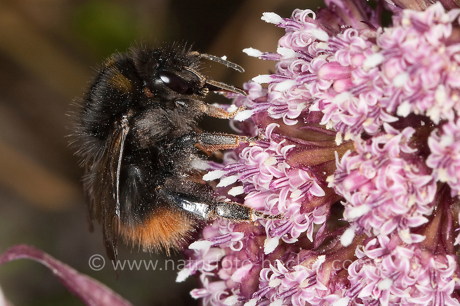 Wiesenhummel, Wiesen-Hummel, Bombus pratorum, syn. Pyrobombus pratorum, beim Blütenbesuch, Nektarsuche, Bestäubung, early bumble bee