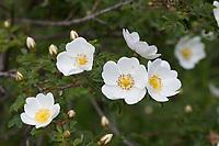 Bibernell-Rose, Bibernellrose, Dünen-Rose, Dünenrose, Rose, Rosa spinoissima, Rosa pimpinellifolia, Burnet Rose, Scotch Rose, Rosier à feuilles de pimprenelle, Le rosier pimprenelle, Rosier d´Ecosse