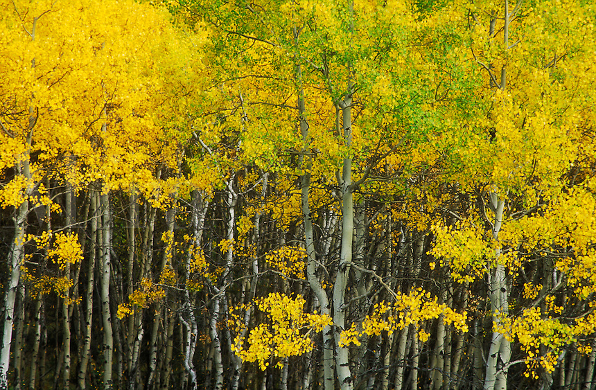 Canada, Alberta, Jasper, Pyramid Lake, Aspens turning yellow in the Autumn