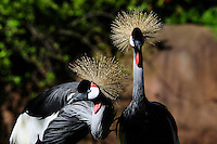 East African crowned cranes (gray-crowned cranes)