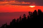 Giant Sequoia (Sequoiadendron giganteum) trees at sunset, Sierra Nevada, Sequoia National Park, California