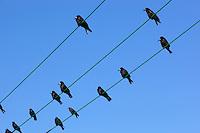 Ireland, Rooks perched on telephone lines | Irland, Kraehen sitzen auf Stromleitung