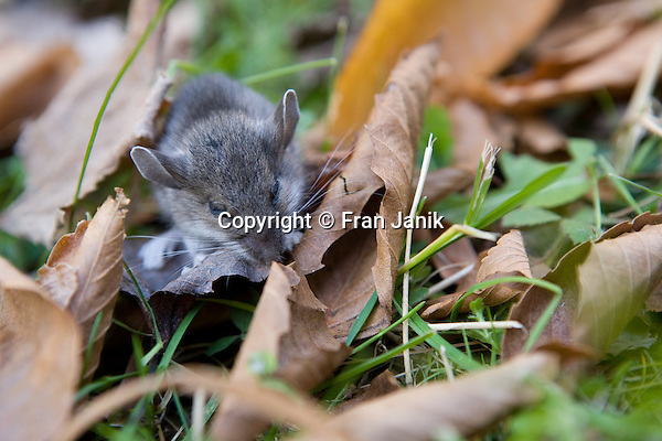 A small grey mouse make it's way through  some leaves in the grass.