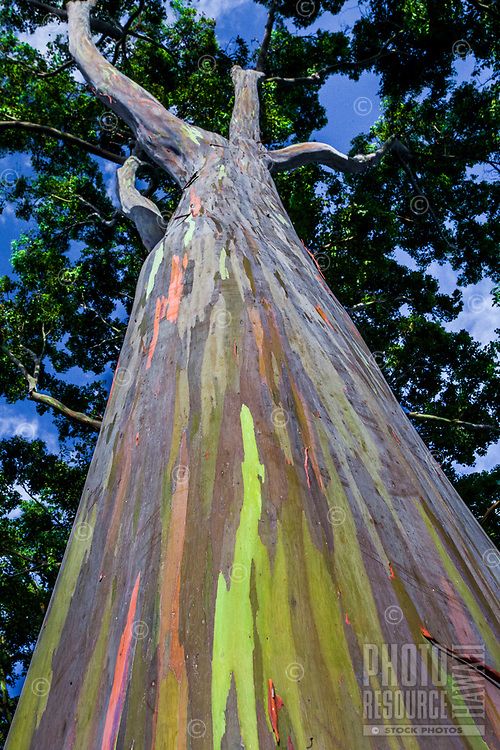 Looking up the colorful trunk of a rainbow eucalyptus tree, Dole Plantation Center, Wahiawa, O'ahu.