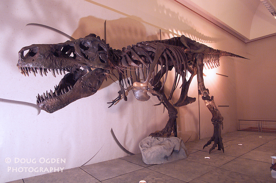 Assignment to photograph the set up of the T-Rex Exhibit, Anchorage Museum