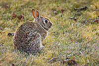 Cottontail rabbit on urban lawn<br /> Winnipeg<br /> Manitoba<br /> Canada