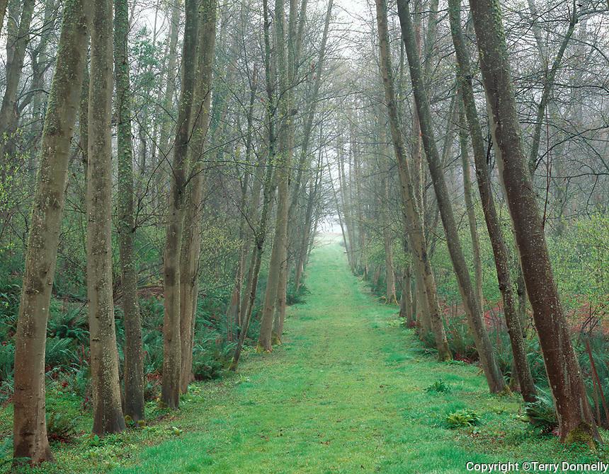 Vashon-Maury Island, WA: Pathway through spring alder grove on Maury Island in the fog