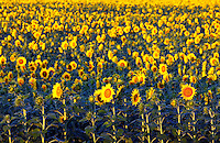 Field of commercial sunflowers, Minnesot