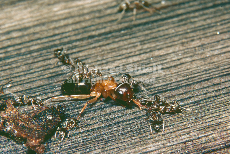 23-HN Argentine Ants, Iridomyrmex humilis, introduced species from South America, prey on native Carpenter Ant, Camponotus sp. at Sherman Oaks, CA USA