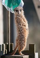 Meerkat or suricate, Suricata suricatta, on lookout, Bowland Wild Boar Park, Chipping, Lancashire.