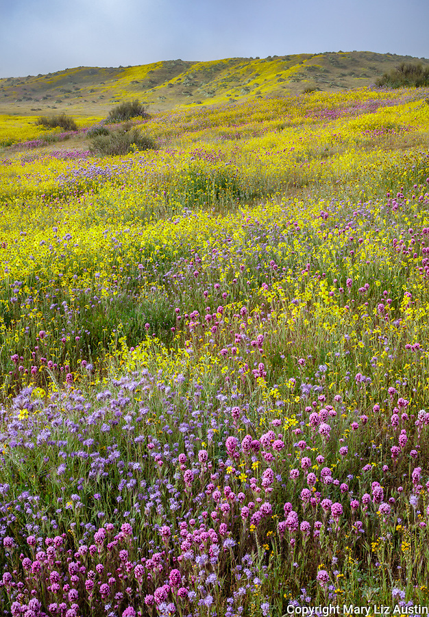 Carrizo Plain National Monument, CA: Monolopia, Owl's-clover and phacelia covering a gentle slope with clearing morning clouds.