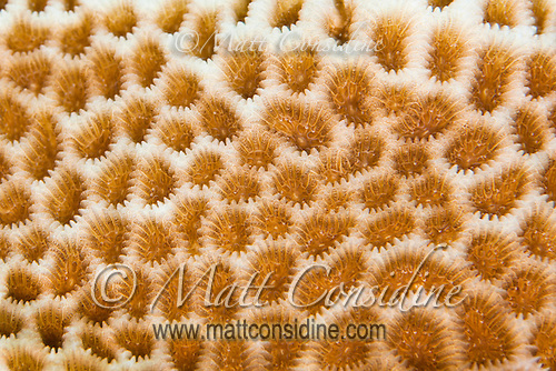 Close up macro of hard coral terrain, Palau Micronesia. (Photo by Matt Considine - Images of Asia Collection) (Matt Considine)