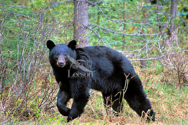Black Bear (Ursus americanus).  Northern Rockies.  June.