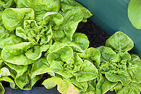 Lettuce 'Little Gem' in raised bed, dwarf romaine leaf type, Lactuca sativa vegetable for salads