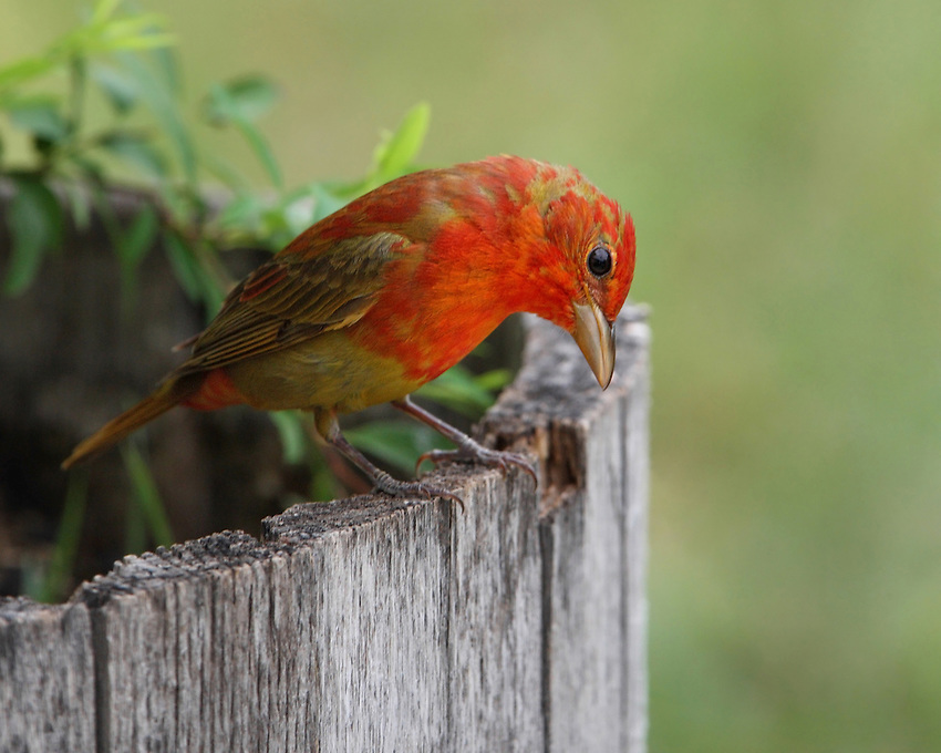 Often taken for granted, the brightly plumaged male summer tanager is one of the more spectacular breeding birds of North America. First Spring male of the species.