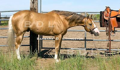 Chex Nu Jewel sports a wonderful palomino coat, white tail, dark mane, an amber eye, high leg markings and large Bend Or spots.  At McBride Quarter Horses, Washington, 2009