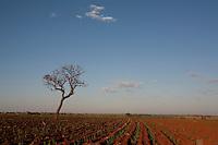 Frutal_MG, Brasil...Plantacao de cana-de-acucar em Frutal...The sugar cane agriculture in Frutal...Foto: LEO DRUMOND / NITRO