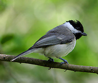 Carolina chickadee adult on branch