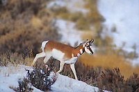 673088653 wild pronghorn antelope antilocarpa americana on a snow covered hillside near yellowstone national park wyoming